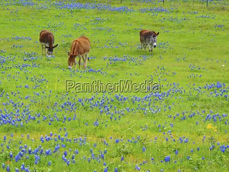 donkey in field of bluebonnets near