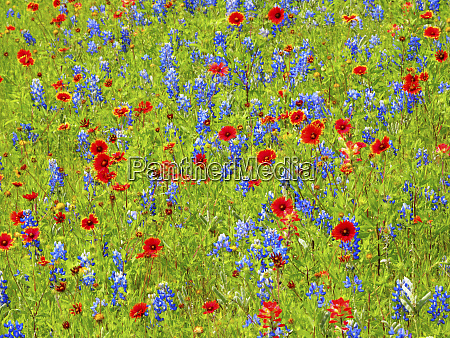 blanket flowers and bluebonnets texas hill