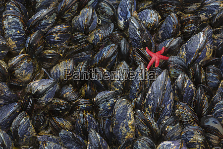 usa washington mussels and red sea