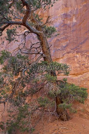 usa utah arches national park pinyon
