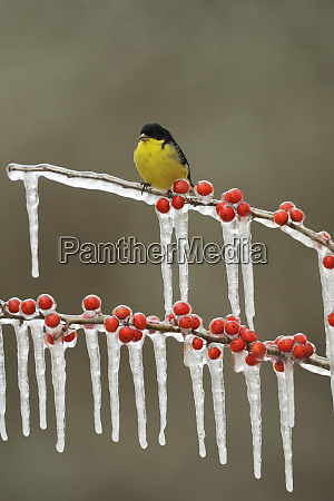 lesser goldfinch carduelis psaltria adult male