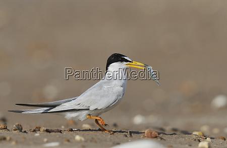least tern sterna antillarum adult with