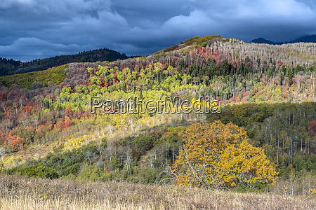 brilliant fall foliage wasatch mountains utah