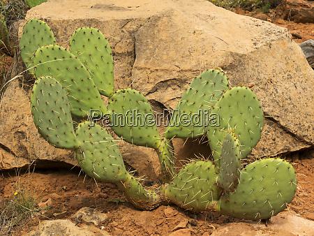 utah zion national park prickly pear