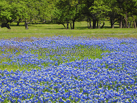 springtime, bloom, of, bluebonnets, and, paintbrush - 27345422