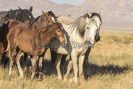 usa utah tooele county wild horses