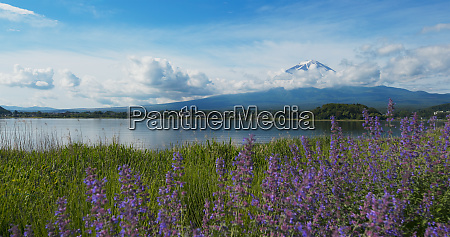 mountain fujisan and lavender field in