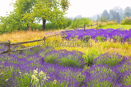 usa washington sequim lavender and trees