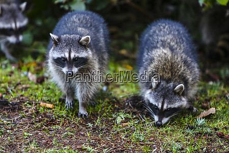 tacoma washington state three raccoons on