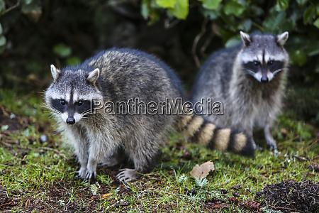 tacoma washington state pair of raccoons