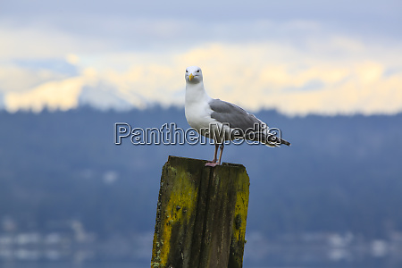 bremerton washington state seagull stands on
