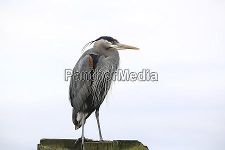 bremerton washington state great blue heron