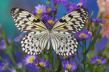 paper kite butterfly idea leuconoe on