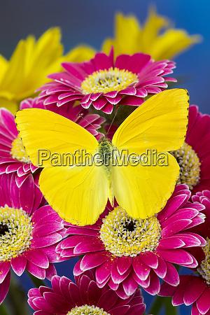 cloudless sulphur butterfly phoebis sennae on