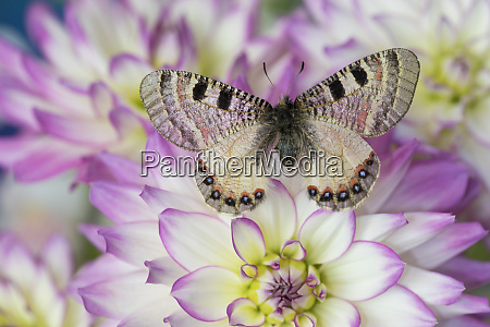archon apolinus butterfly on pinkish white