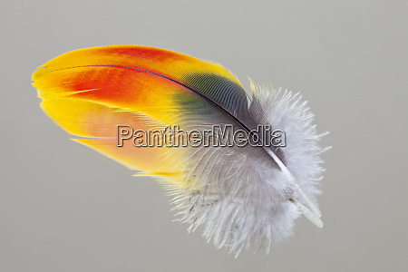 scarlet macaw wing feather reflected on