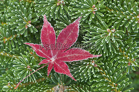 winters frost on japanese maple leaf