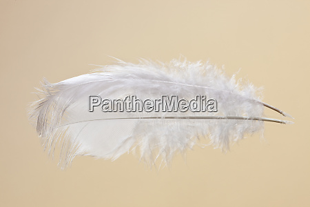 white chicken feather reflected on mirror