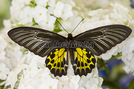 birdwing tropical asian butterfly on white