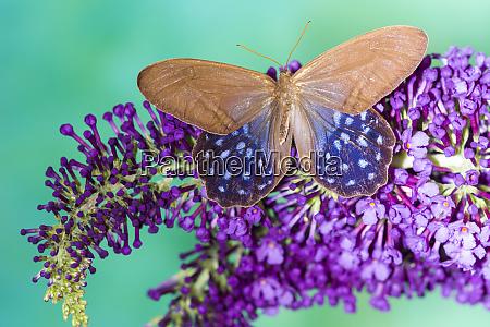 pierella lena butterfly on purple butterfly