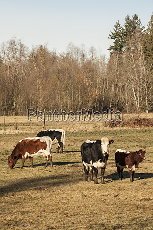 issaquah washington state usa pinzgauer beef