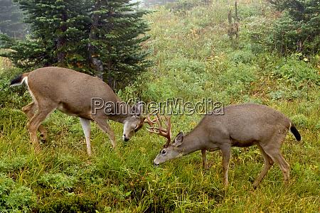 black tailed deer bucks sparring
