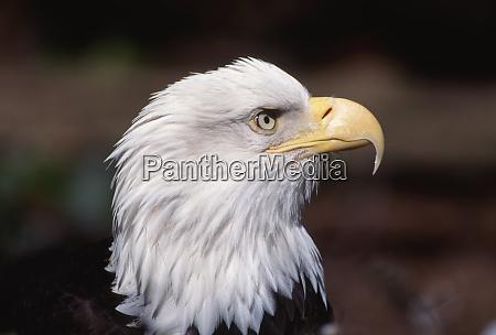 bald eagle haliaeetus leucocephalus adult western