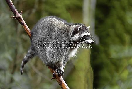 raccoon procyon lotor in tree western