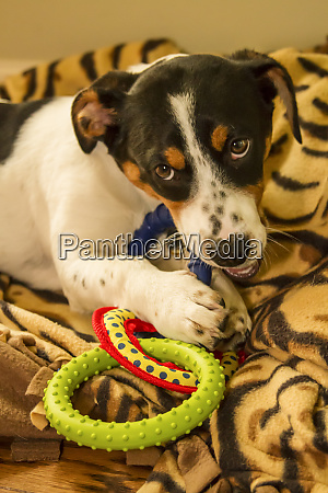 four month old fox terrier hound