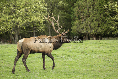 eatonville washington state usa american elk