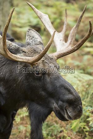 eatonville washington state usa bull moose