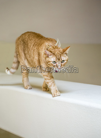 issaquah washington state usa cat walking