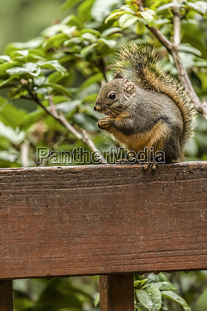 issaquah washington state usa douglas squirrel