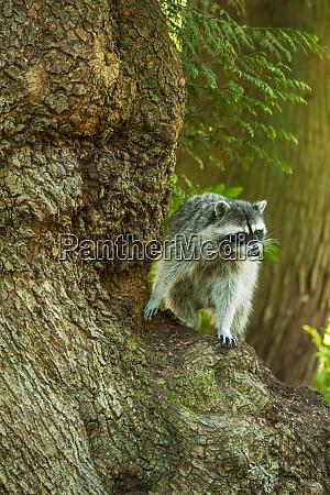 issaquah washington state usa wild raccoon
