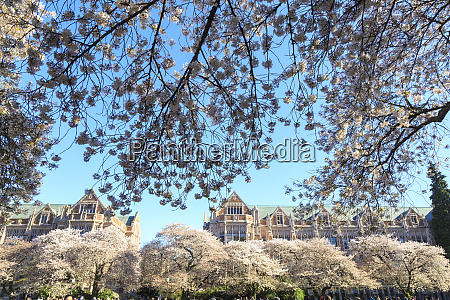 cherry blossoms in full bloom university