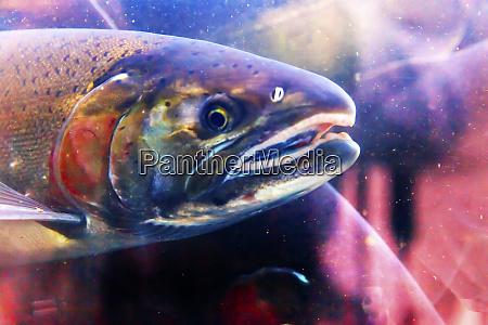 close up of salmon head issaquah