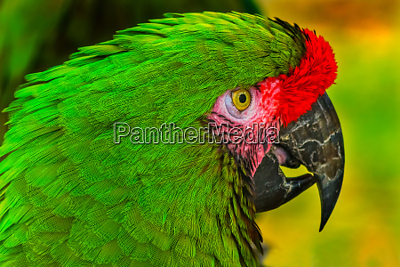 close up of green military macaw