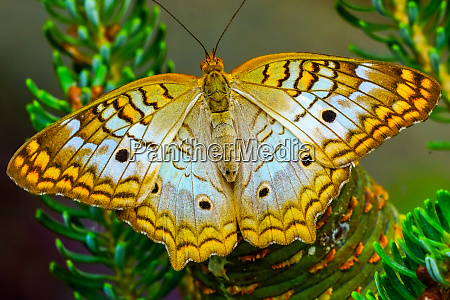 white peacock butterfly seattle washington state