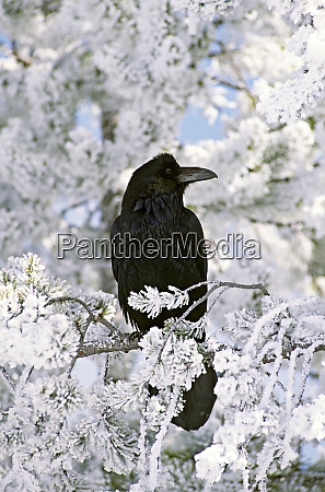 common raven sitting on frozen branch