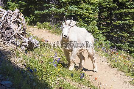 usa washington state mountain goat and