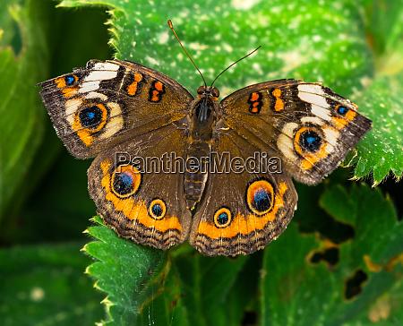 common buckeye butterfly seattle washington state