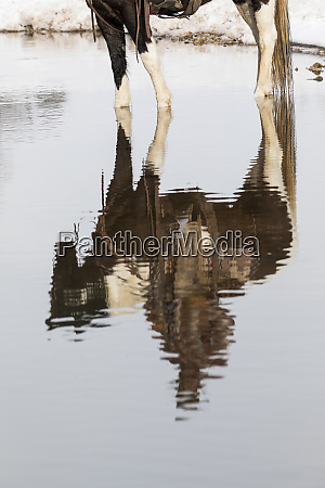 cowboy and his horse reflected in