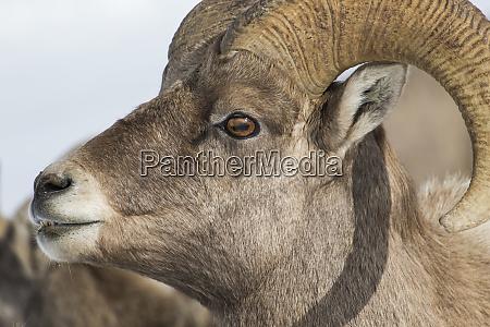 usa wyoming teton county national elk