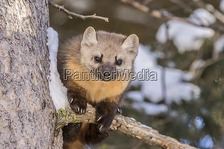 usa montana shoshone national forest pine