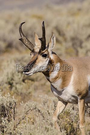 pronghorn antilocapra americana in lamar valley