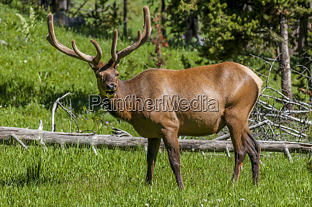 elk cervus canadensis near lake village