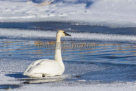 usa wyoming jackson hole trumpeter swan