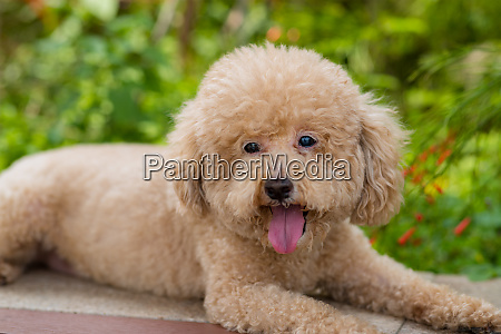 dog poodle at city park