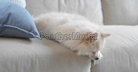 dog sleep on sofa at home