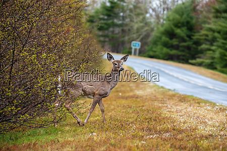 a roe deer in the wildlife
